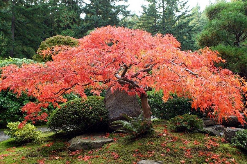 Клён японский красный