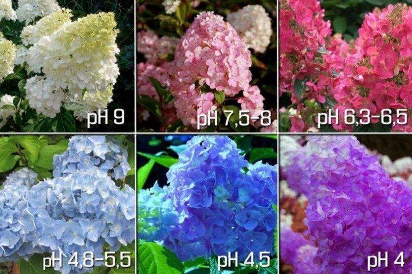Влияние кислотности почвы на цвет гортензии