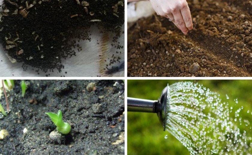Выращивание гиацинтов из семян