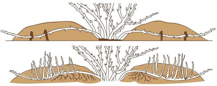Размножение ракитника отводками