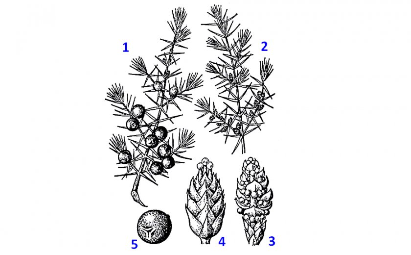 Развитие плодов можжевельника