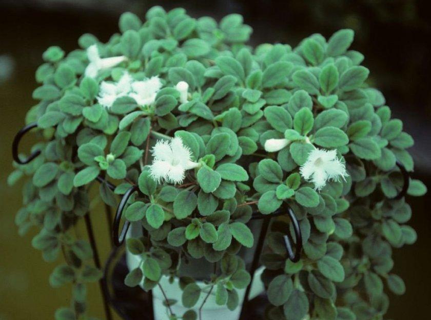 Dianthiflora (гвоздикоцветковая)