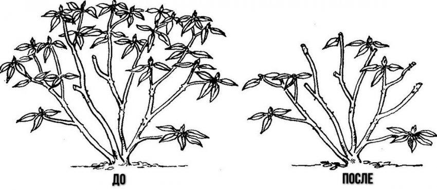 Куст рододендрона до и после обрезки