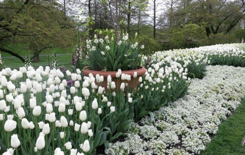 Белые весенние цветы на клумбе