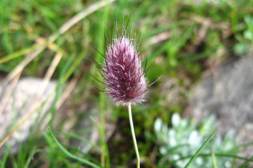 Лисохвост альпийский