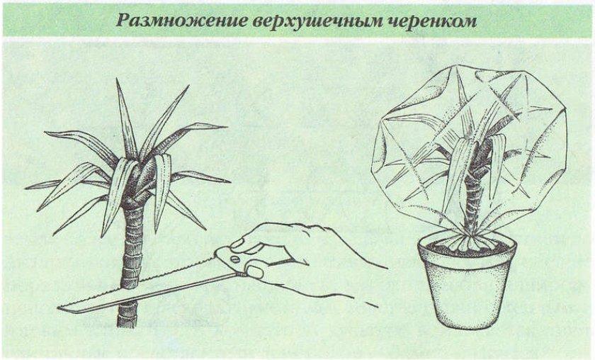 Размножение верхушечным черенком