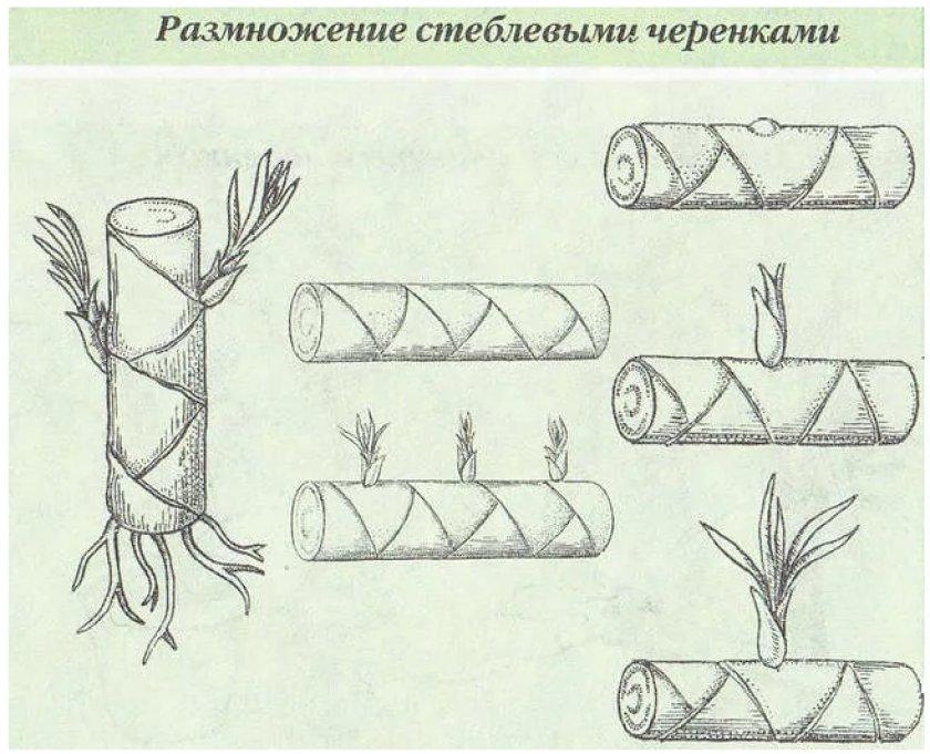 Размножение стеблевым черенком