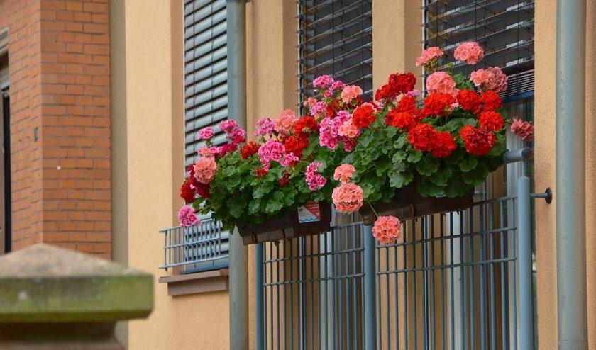 Балконные (плющелистные)