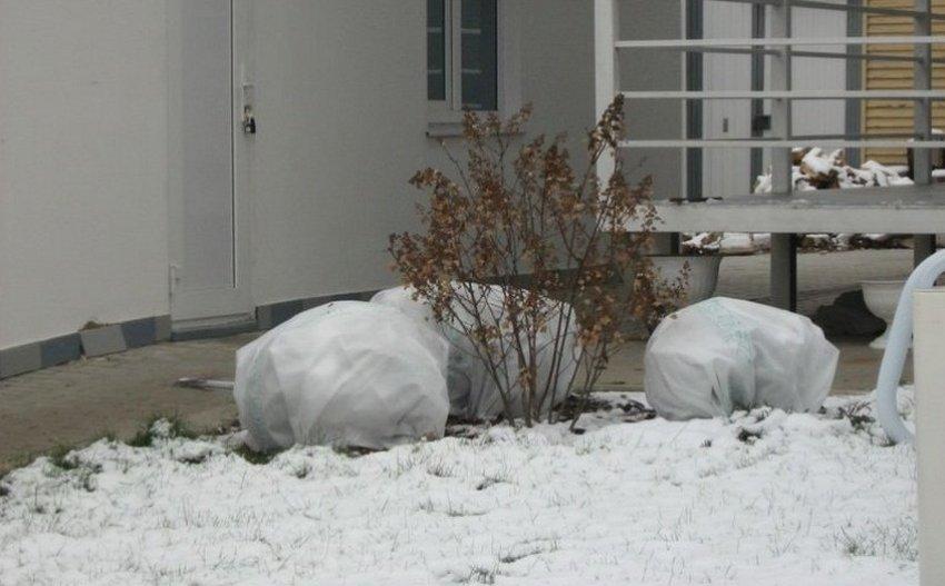 Укрытие вейгелы на зиму