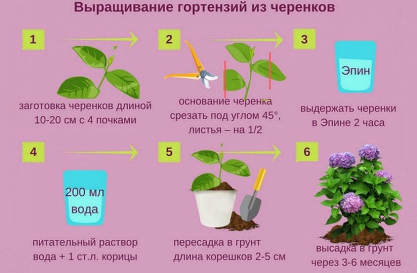 Выращивание гортензии из черенков