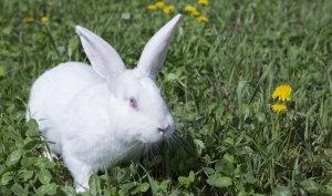 Средняя масса кролика