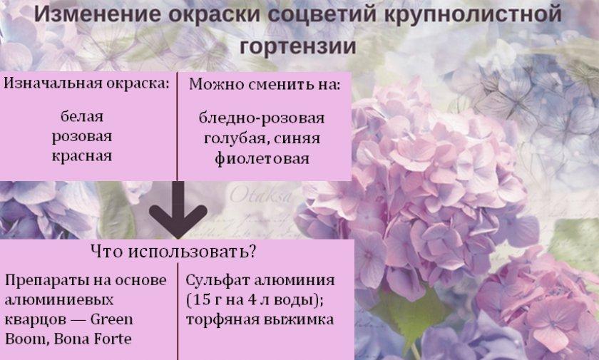 Как изменять окраску гортензии