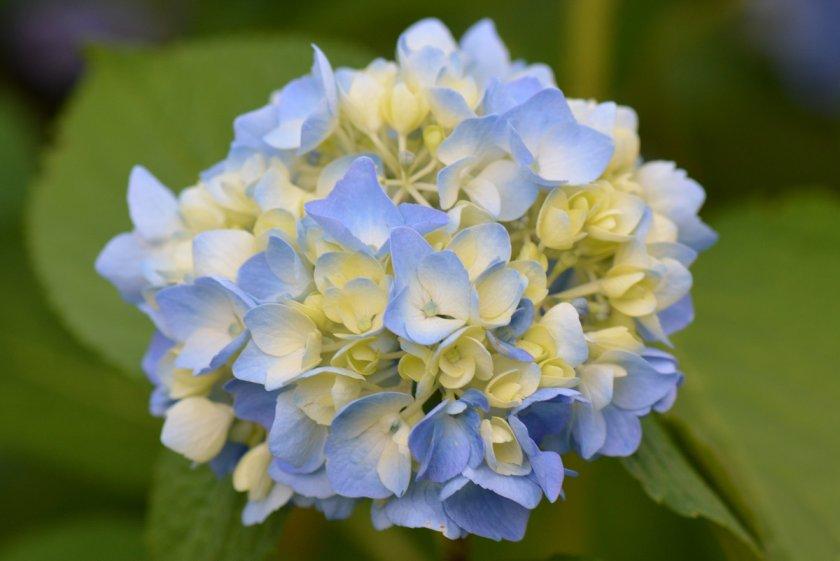 Смена цвета цветков гортензии