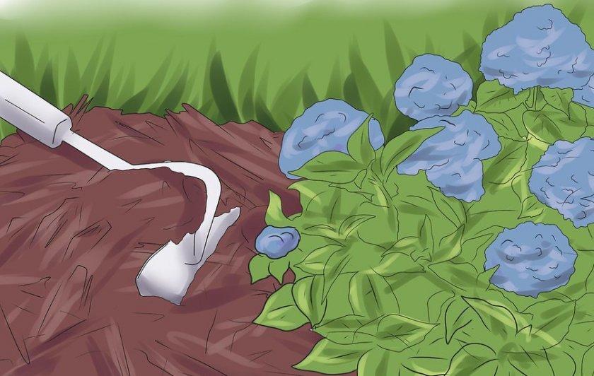 Мульчирование почвы под гортензией