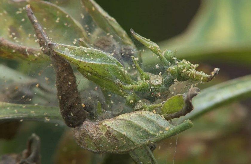 Паутинный клещ на рододендроне