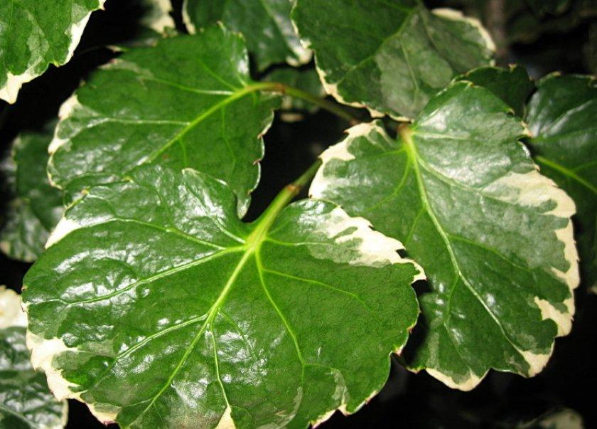 Липкий налёт на листьях