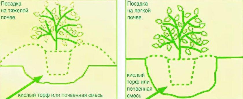 Схема посадки рододендронов