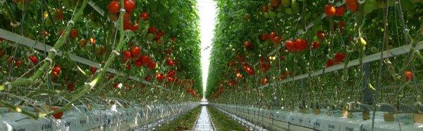 Как ускорить покраснение помидоров