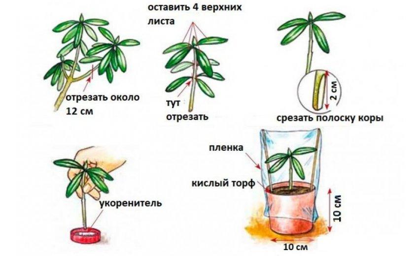 Черенкование рододендрона
