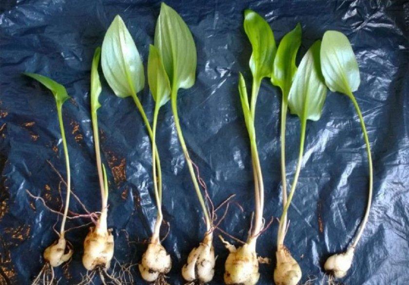 Размножение делением луковиц