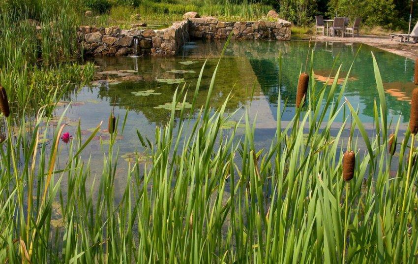 Камыш в пруду