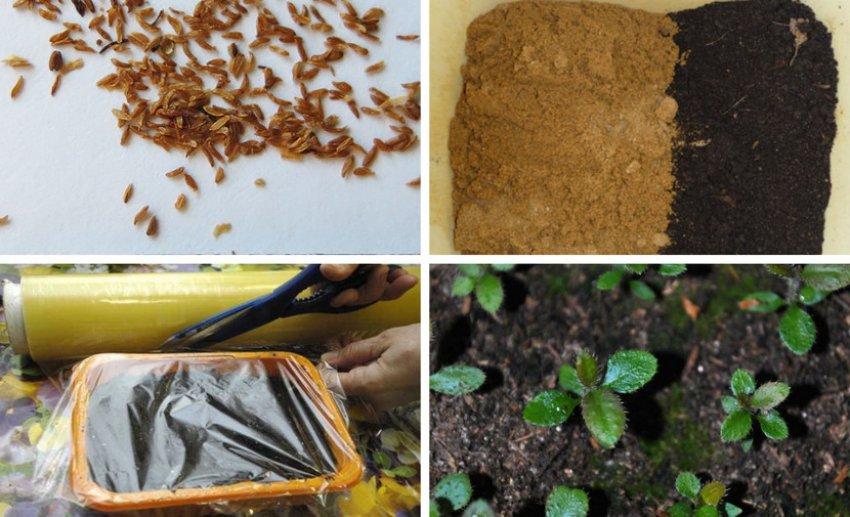 Размножение рододендрона семенами