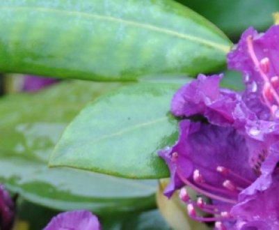 Описание сорта Азурро и особенности его выращивания