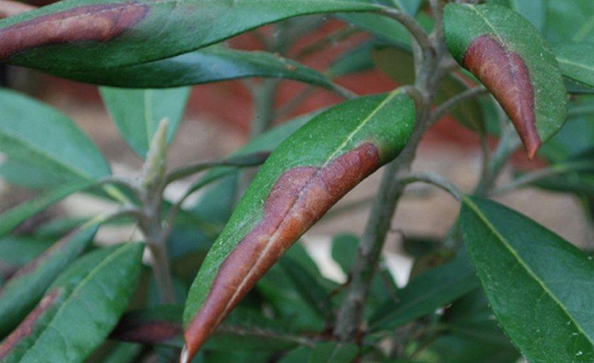Темнеющие кончики листьев рододендрона