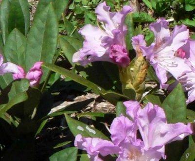Фото, описание и применение гибридного рододендрона Pohjola's Daughter