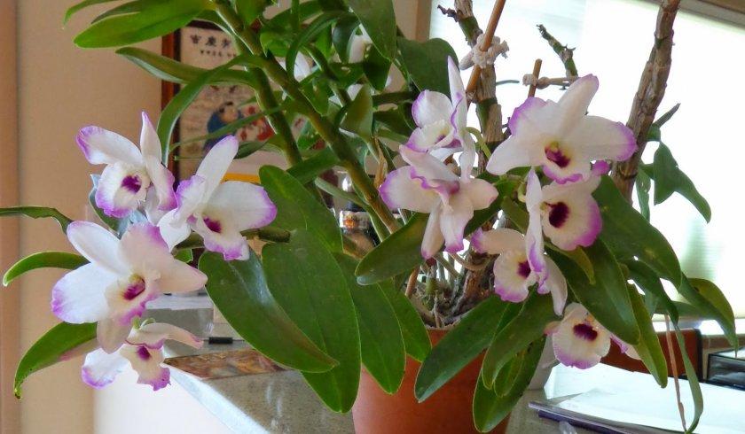 Орхидея Ямамото