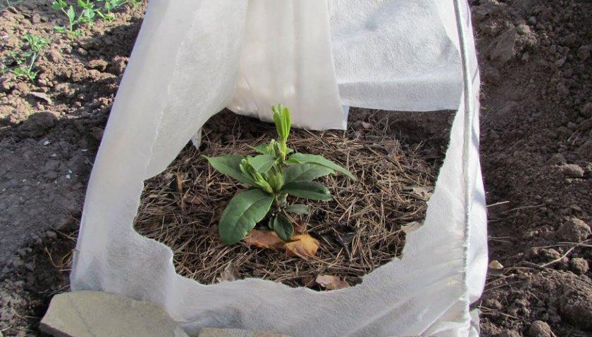 Укрытие рододендрона на зиму