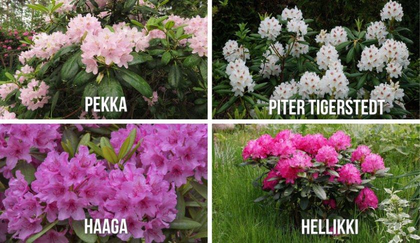 Сорта рододендрона для Ленинградской области