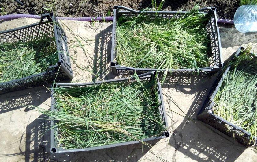 Скошенная трава для мульчирования