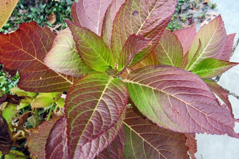 Покраснение листвы у гортензии