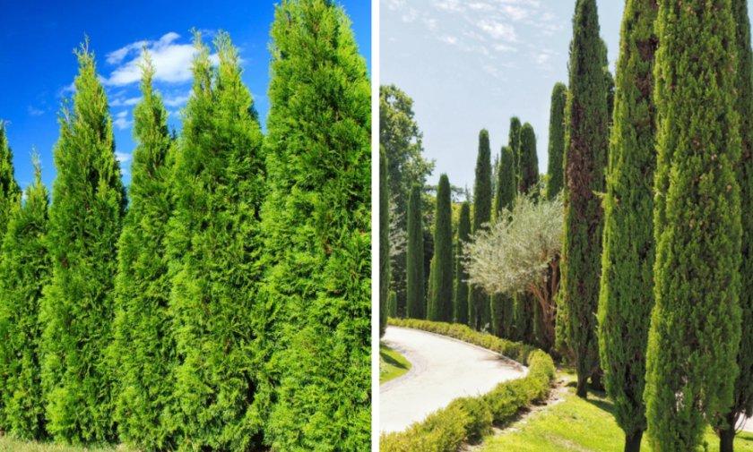 Кипарисовые деревья