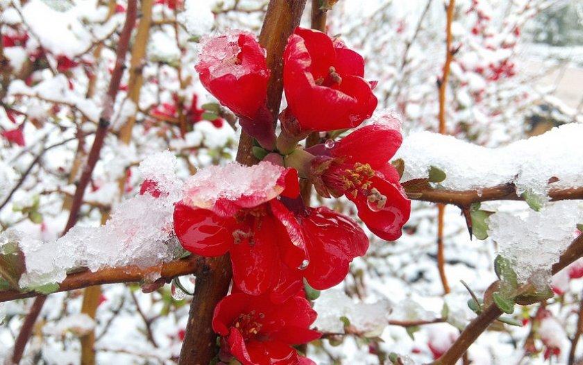 Японская айва зимой