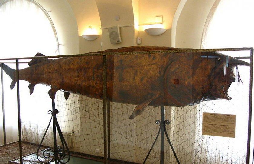 Белуга в музее Татарстана
