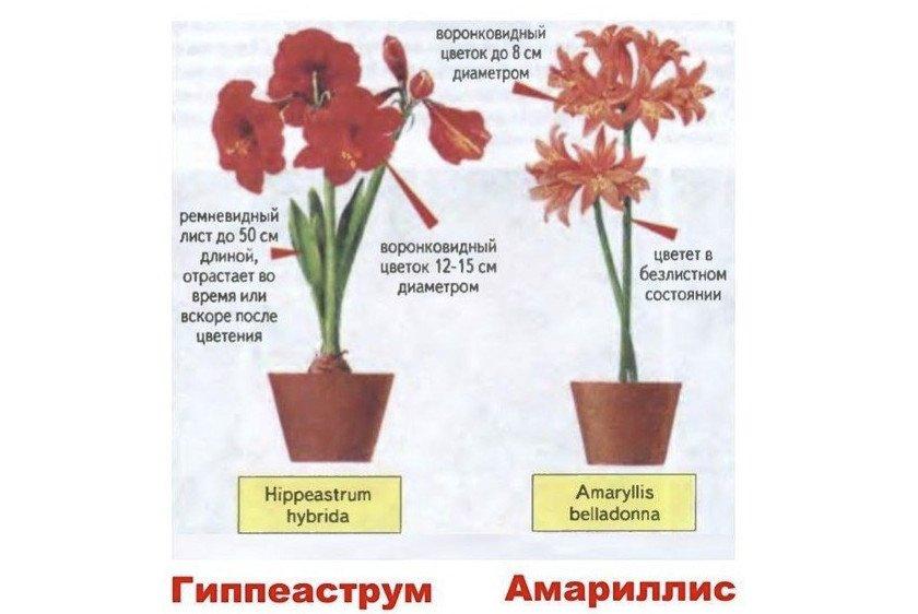 Гиппеаструм и амариллис