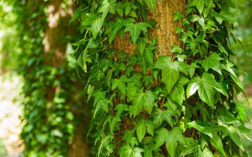 Растение-плющ