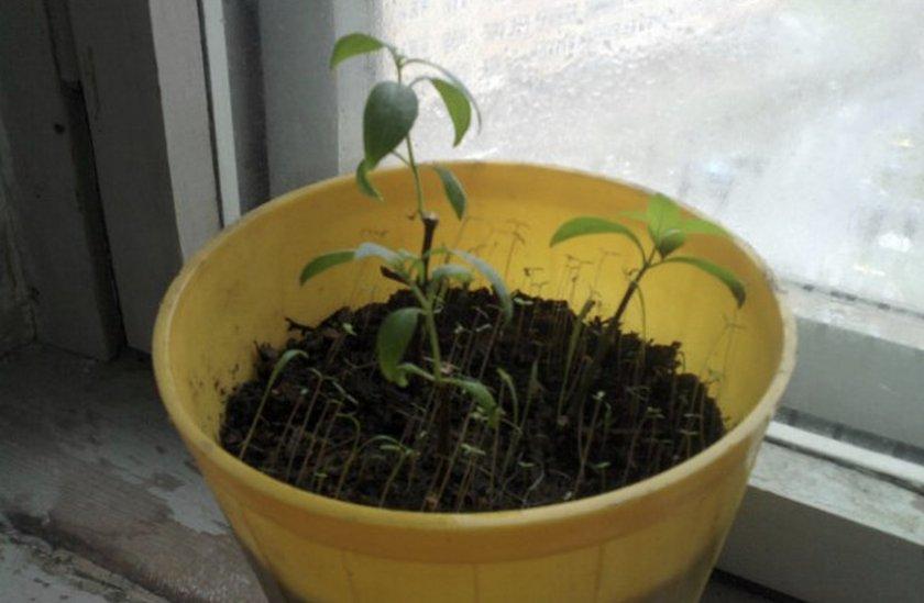 Размножения семенами