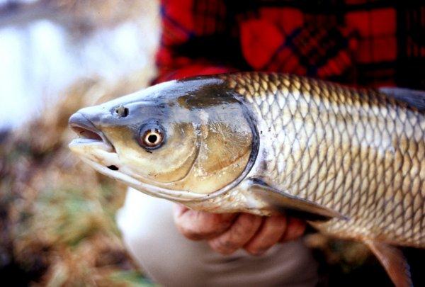 Ловля амура на донную снасть: оснастка для рыбалки и её монтаж своими руками, как поймать весной в пруду и на реке
