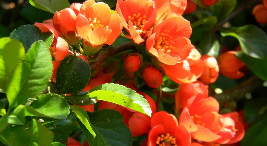 Айва японская посадка и уход в открытом грунте плоды
