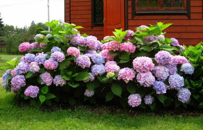Куст гортензии в саду
