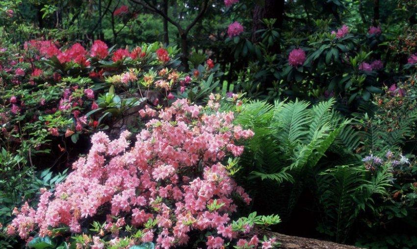 Неправильное соседство рододендрона с другими растениями