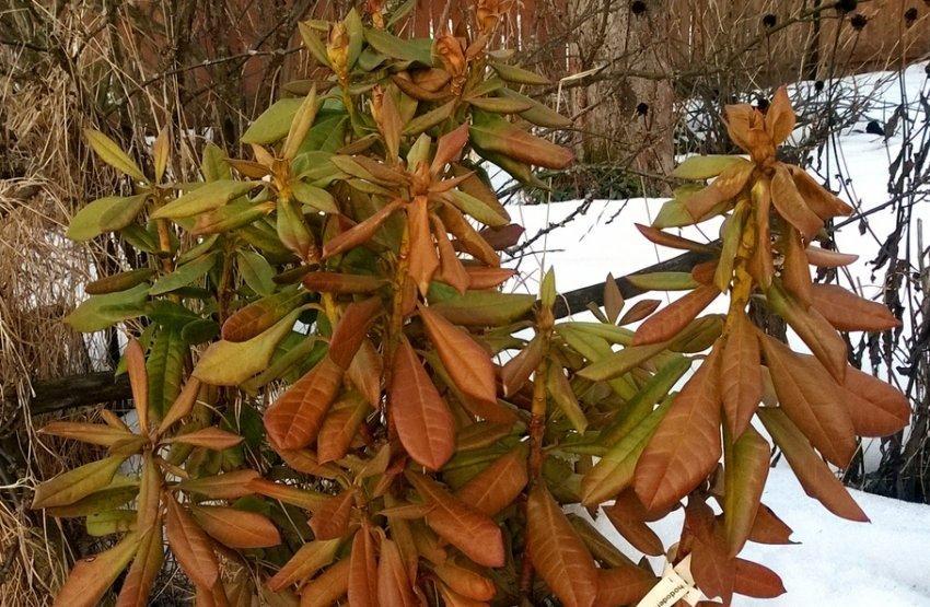 Зимнее высыхание рододендрона