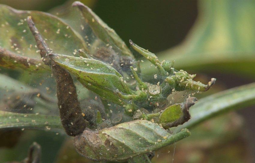 Паутинный клещ на рододендронах
