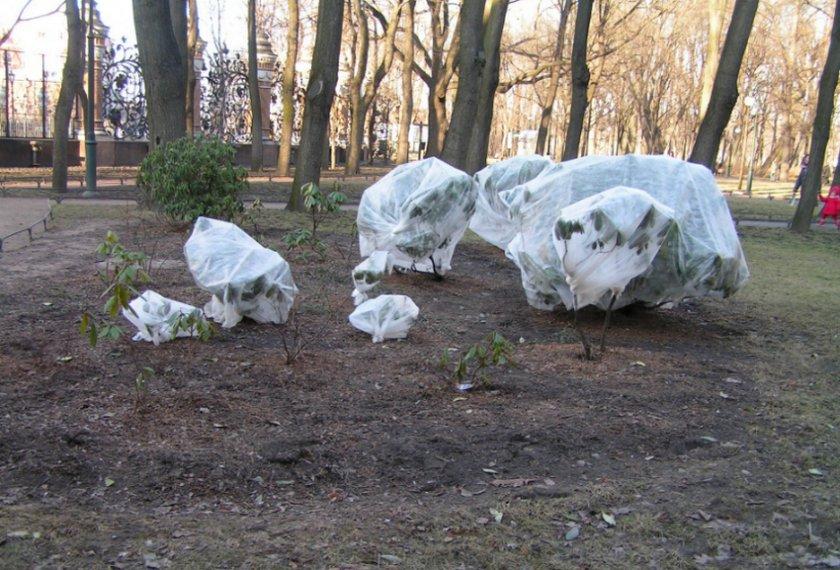 Укрытие на зиму рододендрона