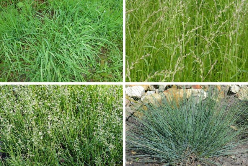 Трави подверженные к болезням