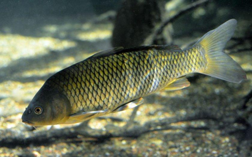 Рыба - сазан