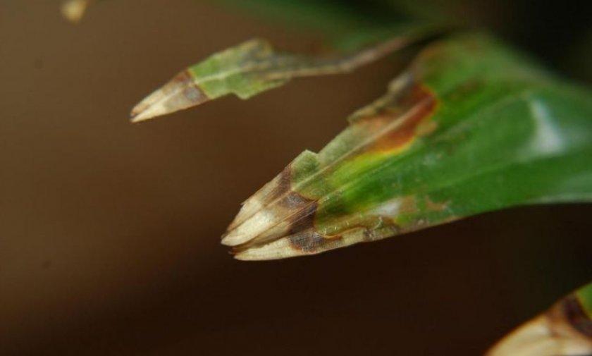 Пятнистость на листовых пластинах